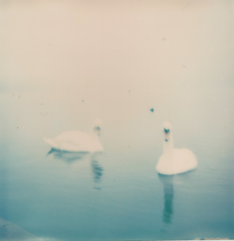 09012016-swans